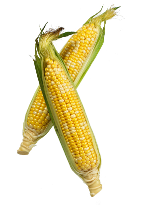 Two Corn cobs